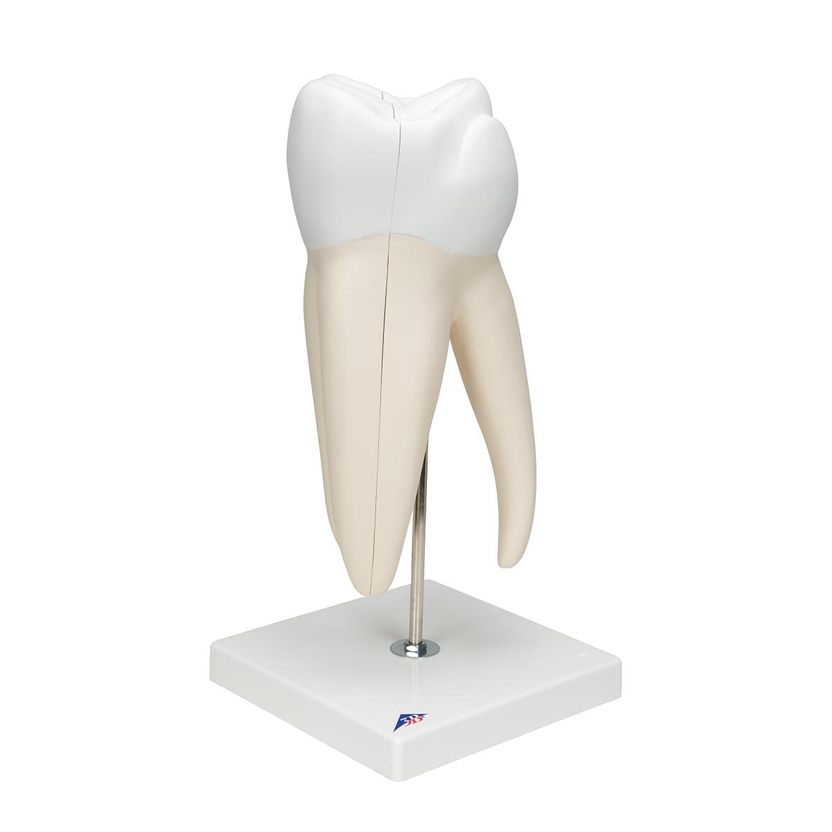 Anatomical Teaching Models Plastic Human Dental Models Giant