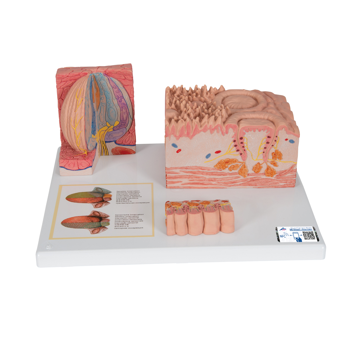 Anatomical Teaching Models - Plastic Human Dental Models ...