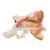 Human Ear Model, 3 times Life-Size, 6 part - 3B Smart Anatomy, 1000251 [E11], Ear Models (Small)