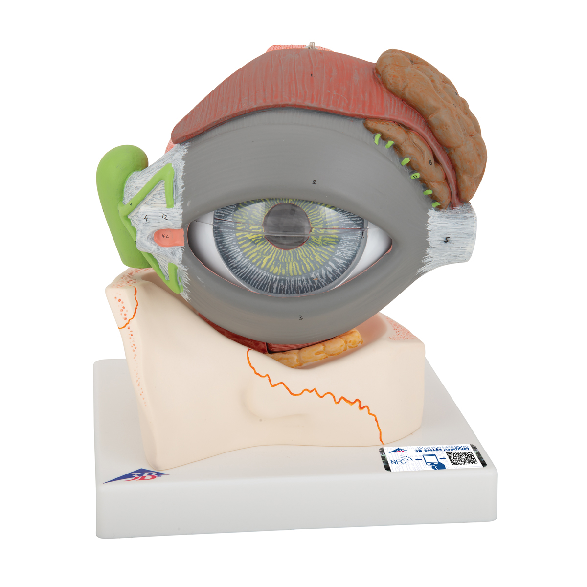 Image result for Human Eye Model, 5 times full-size, 8 part - 3B Smart Anatomy