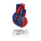 Magnetic Heart model, life-size, 5 parts, 1010007 [G01/1], Human Heart Models