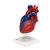 Magnetic Heart model, life-size, 5 parts, 1010007 [G01/1], Human Heart Models (Small)