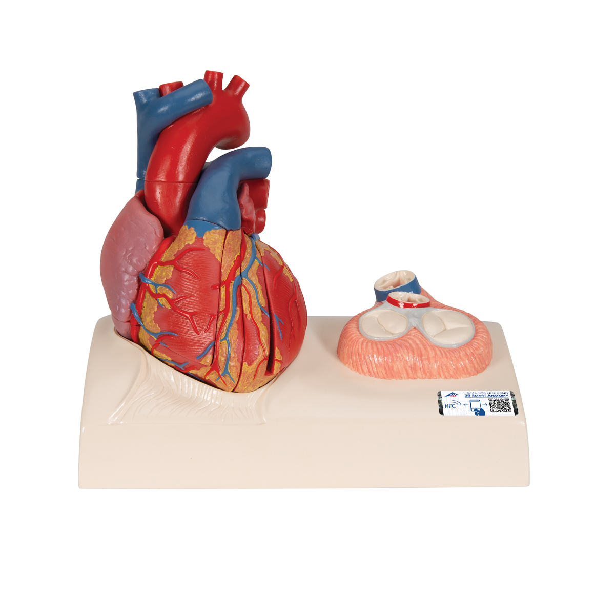 Magnetic Heart Model Life Size 5 Parts 1010006 3b Scientific
