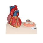 Magnetic Heart model, life-size, 5 parts, 1010006 [G01], Human Heart Models