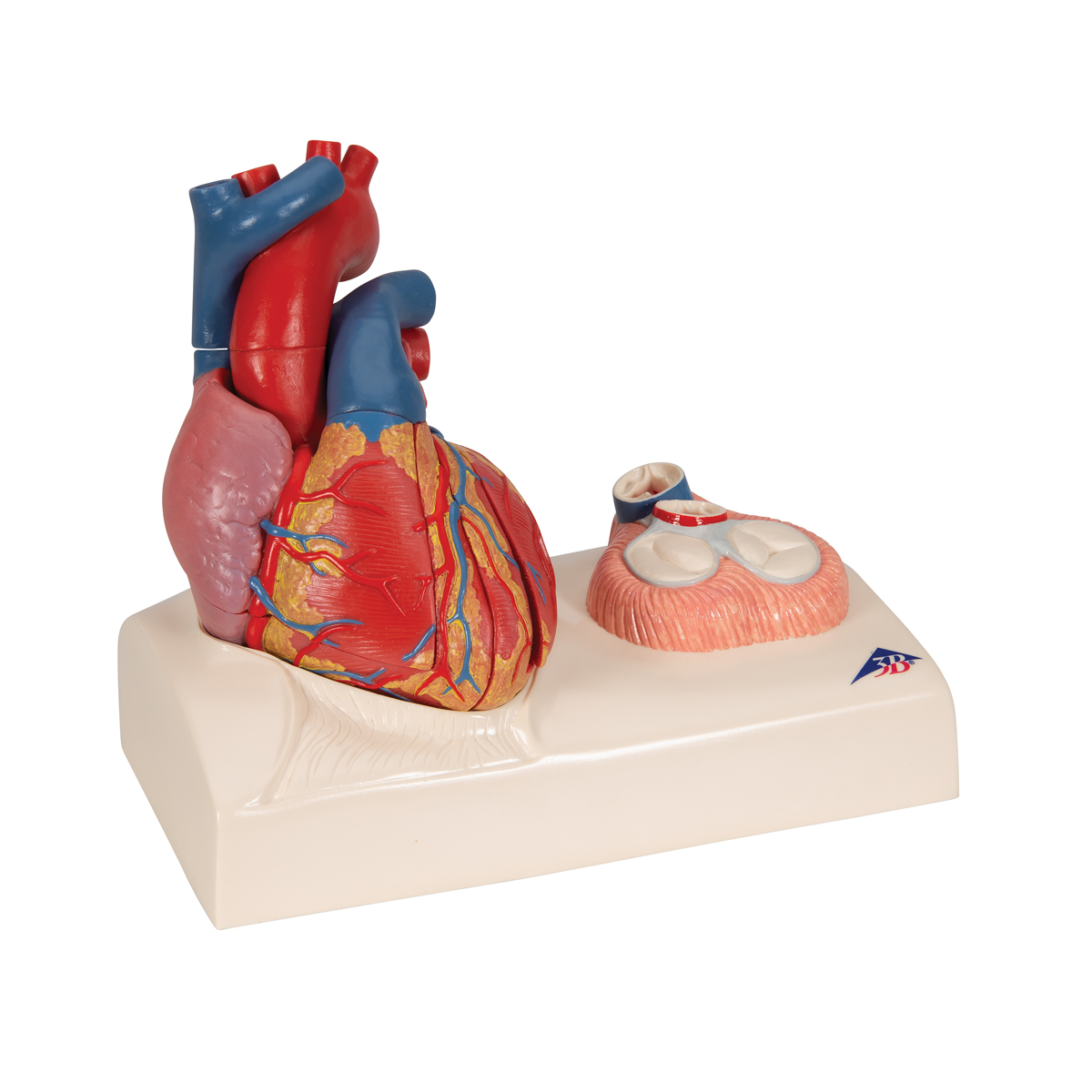 Magnetic Heart model, life-size, 5 parts - 1010006 - 3B Scientific ...