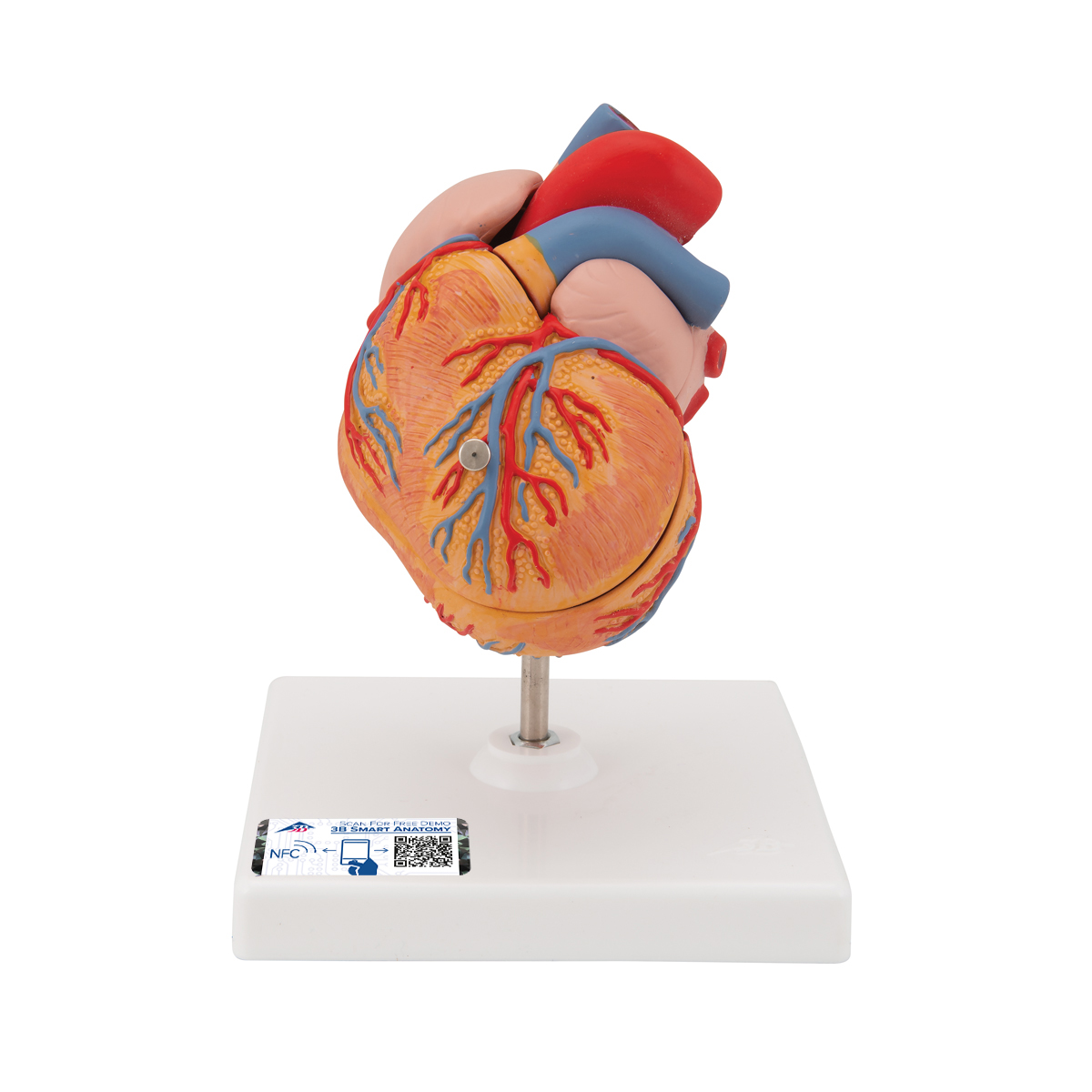 Anatomical Heart Model - Anatomy of the Heart - Left Ventricular ...