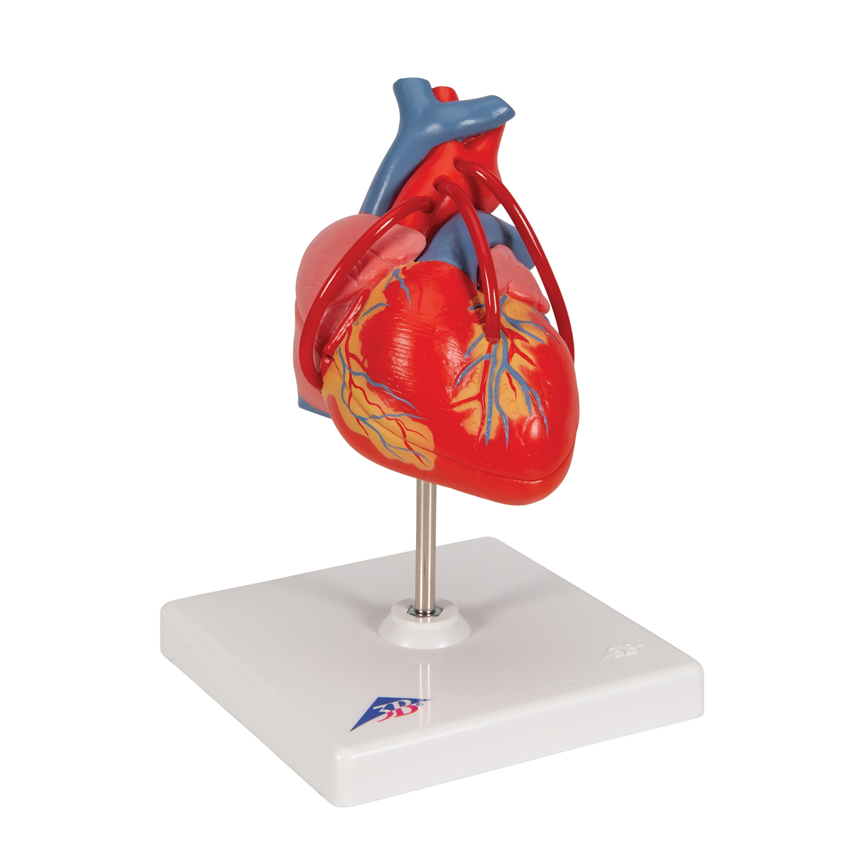 Anatomical Heart Model - Anatomy of the Heart - Heart with Bypass Model