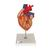 Heart with Bypass, 2 times life size, 4 part, 1000263 [G06], Human Heart Models (Small)