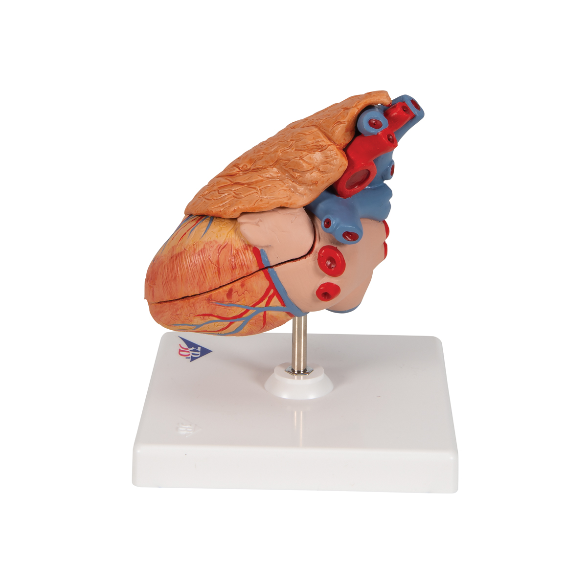 Anatomical Heart Model - Anatomy of the Heart - Classic Heart Model ...