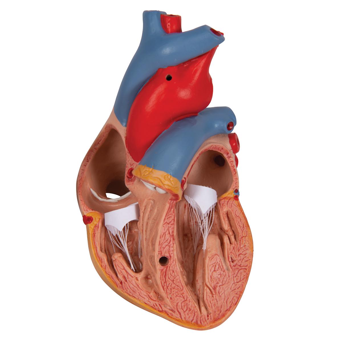 Anatomical Heart Model Anatomy Of The Heart Classic Heart Model