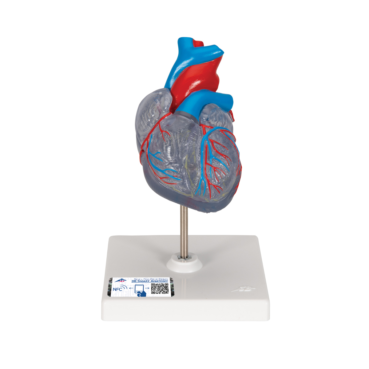 Anatomical Heart Model | Anatomy of the Heart | Transparent Heart ...