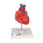 Classic Heart, 2 part, 1017800 [G08], Human Heart Models