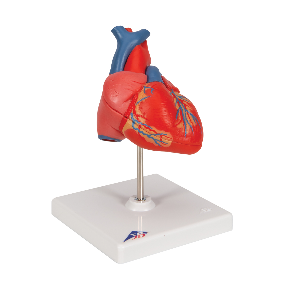Anatomical Heart Model | Anatomy of the Heart | Classic Heart Model