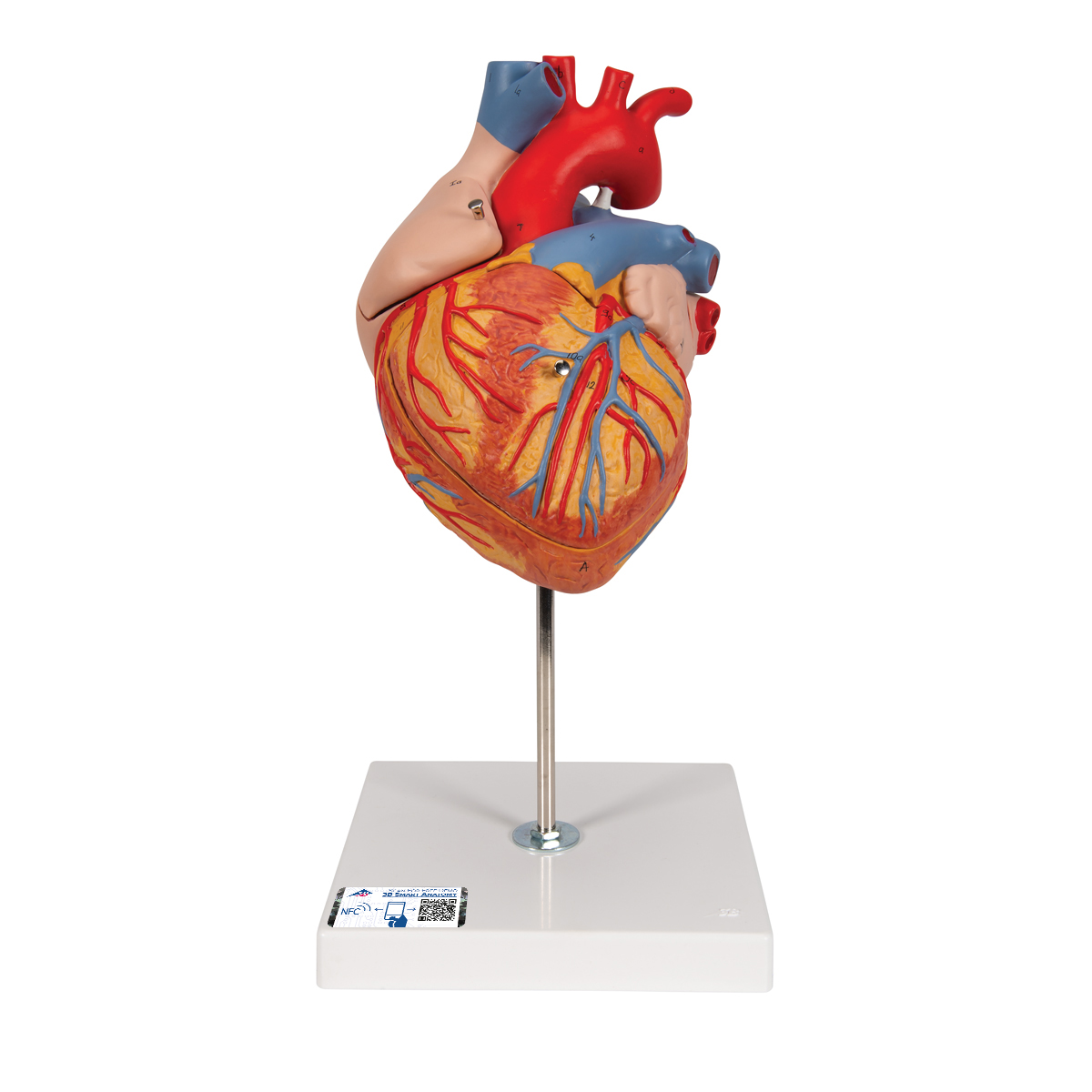 Anatomical Heart Model | Anatomy of the Heart | 4-Part Heart Model
