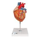 Heart, 2-times life size, 4 part, 1000268 [G12], Human Heart Models