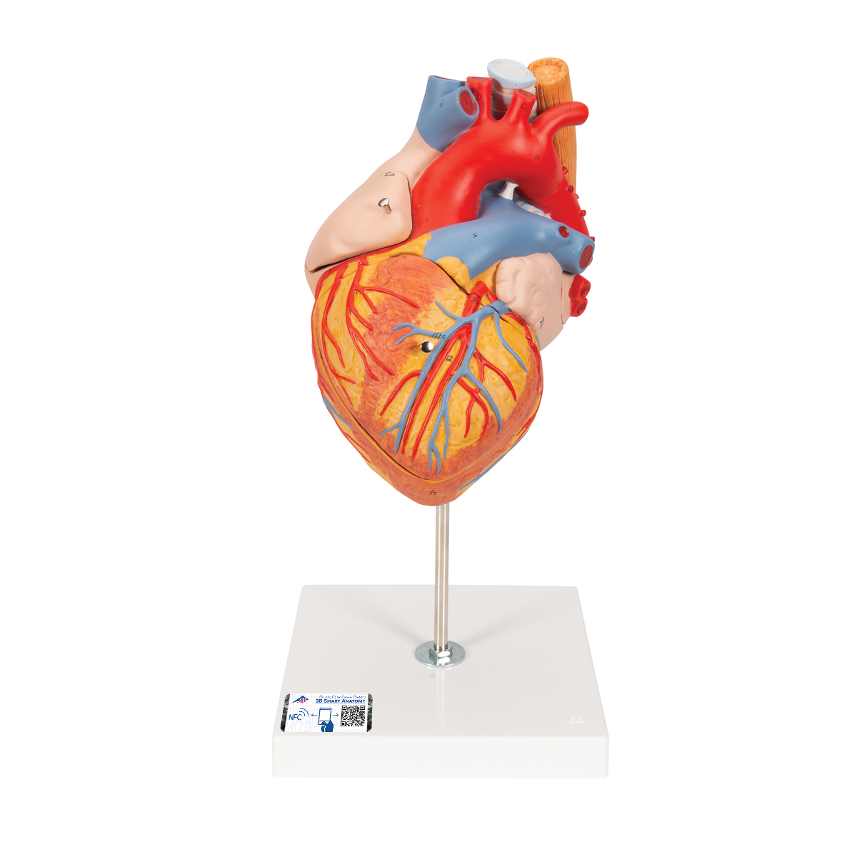 Anatomical Heart Model | Anatomy of the Heart | Heart Model with ...