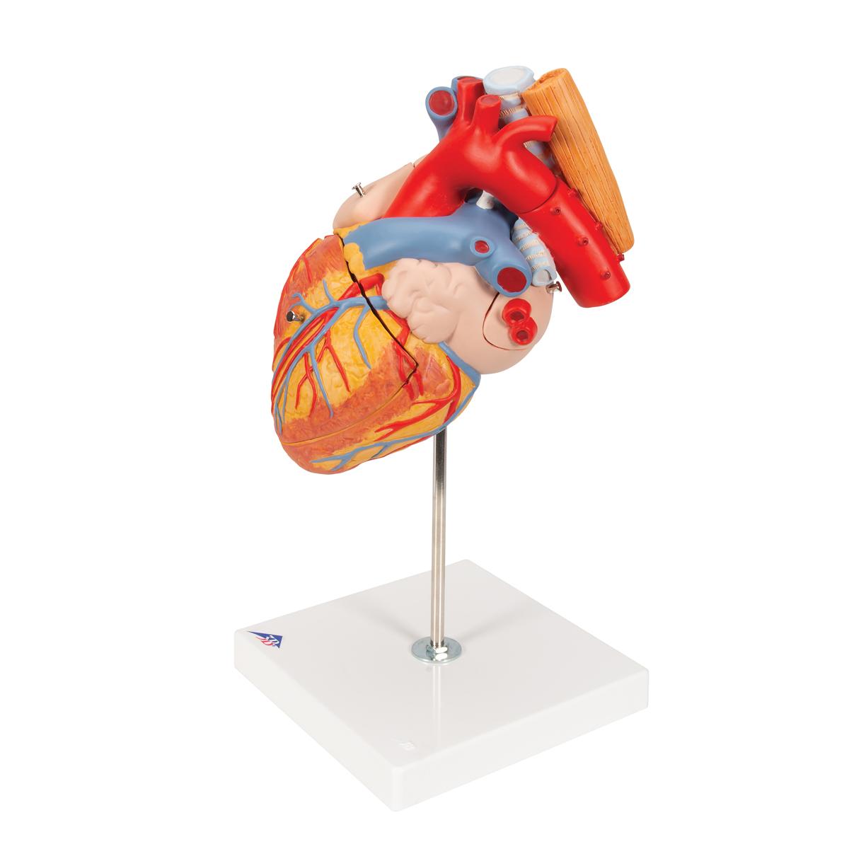 anatomical heart model anatomy of the heart heart