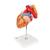Heart with Esophagus and Trachea, 2 times life size, 5 part, 1000269 [G13], Human Heart Models (Small)