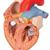 Human Heart Model with Esophagus and Trachea, 2 times Life-Size, 5 part - 3B Smart Anatomy, 1000269 [G13], Human Heart Models (Small)