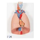Lung Model with larynx, 7 part, 1000270 [G15], Lung Models