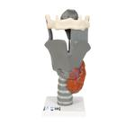 Functional Larynx Model, 2.5 times Full-Size - 3B Smart Anatomy, 1013870 [G20], Ear Models