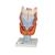 Human Larynx Model, 2 times Full-Size, 7 part - 3B Smart Anatomy, 1000272 [G21], Ear Models (Small)