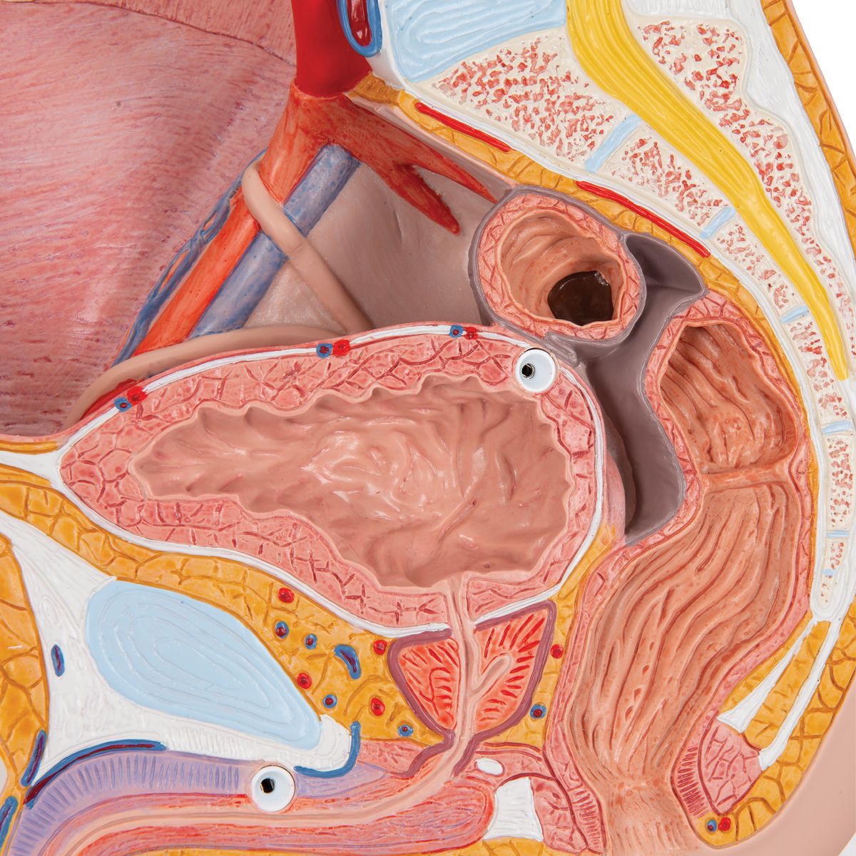 Anatomical Teaching Models Plastic Human Pelvic Models Male