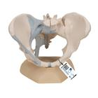 Female Pelvis with Ligaments, 3 part, 1000286 [H20/2], Genital and Pelvis Models