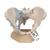 Female Pelvis Skeleton Model with Ligaments, 3 part - 3B Smart Anatomy, 1000286 [H20/2], Genital and Pelvis Models (Small)