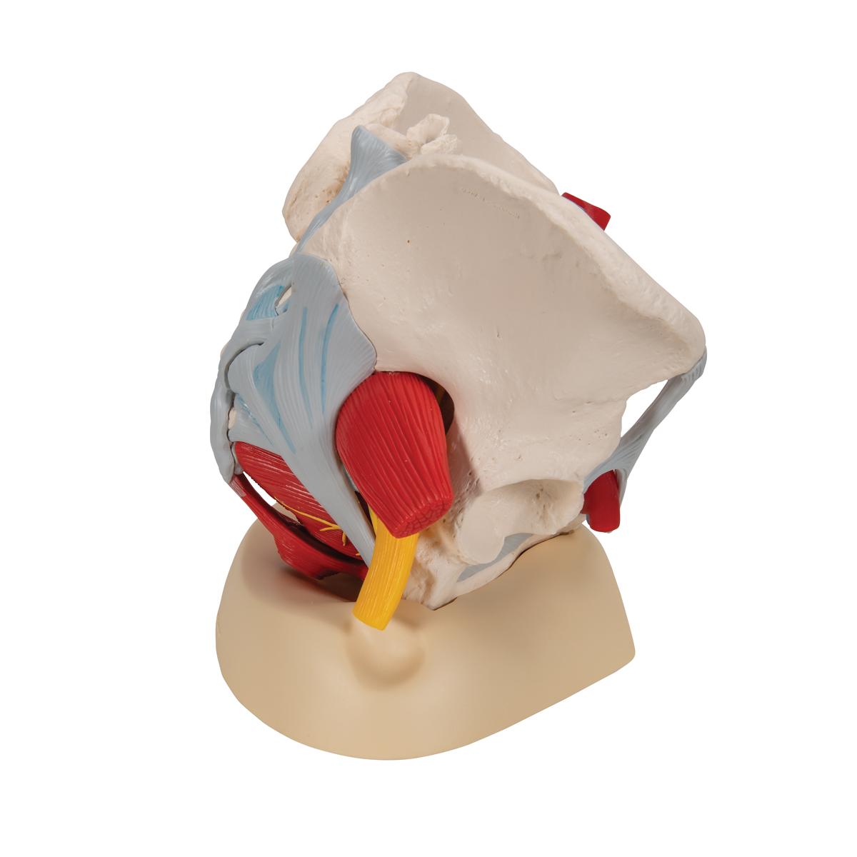 Anatomical Teaching Models | Plastic Human Pelvic Models ...