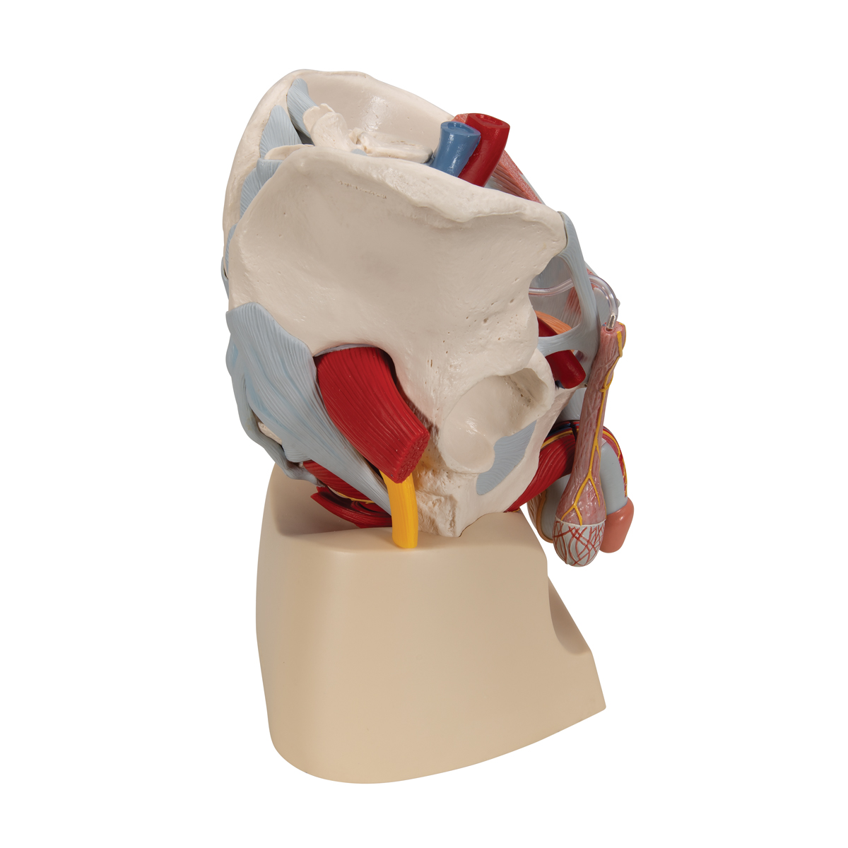 Male pelvis (7-parts) - 1013282 - 3B Scientific - H21/3 - Genital ...