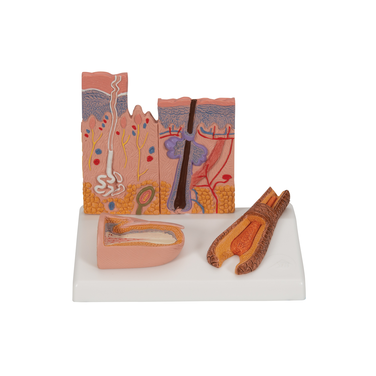 Anatomical Teaching Model Plastic Anatomy Models Skin Models