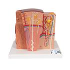 3B MICROanatomy™ Kidney Model - 3B Smart Anatomy, 1000301 [K13], Microanatomy Models