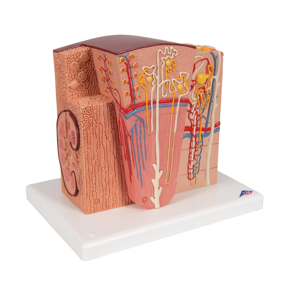 anatomical teaching model - plastic anatomy models - renal system, Skeleton