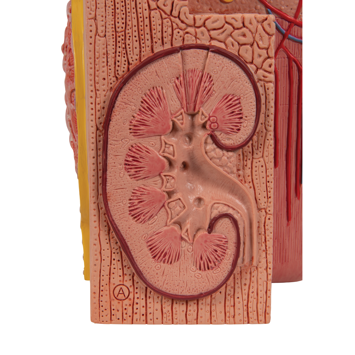 Anatomical Teaching Model Plastic Anatomy Models Renal System