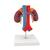 Human Kidneys Model with Vessels - 2 Part - 3B Smart Anatomy, 1000308 [K22/1], Urology Models (Small)