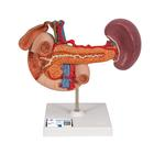 Life-Size Model of Rear Organs of Upper Abdomen - 3B Smart Anatomy, 1000309 [K22/2], Digestive System Models