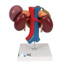 Kidneys with Rear Organs of the Upper Abdomen - 3 Part, 1000310 [K22/3], Digestive System Models
