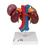 Kidneys with Rear Organs of the Upper Abdomen - 3 Part, 1000310 [K22/3], Digestive System Models (Small)