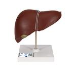 Liver Model with Gall Bladder - 3B Smart Anatomy, 1014209 [K25], Digestive System Models