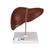 Liver with Gall Bladder, 1014209 [K25], Digestive System Models (Small)
