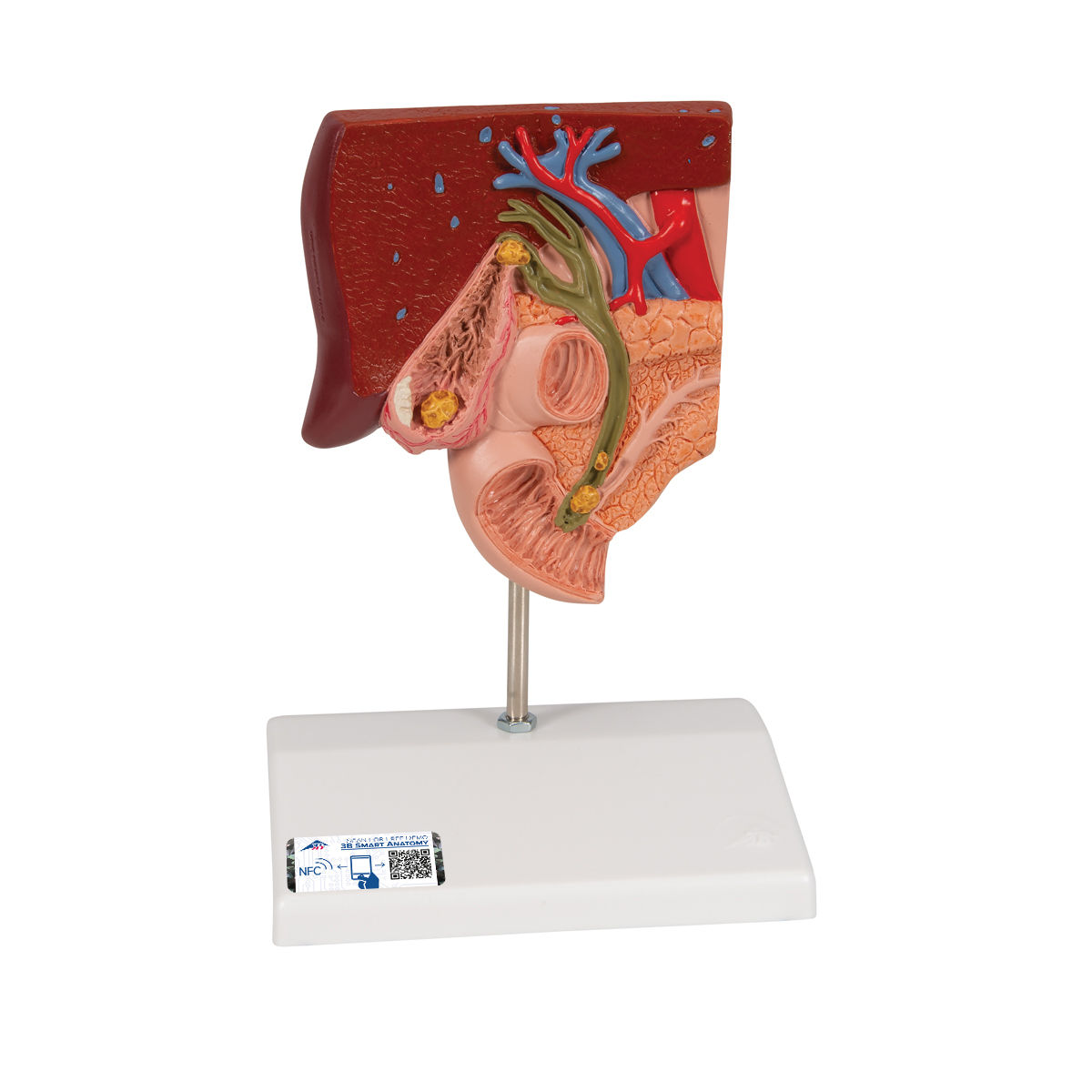 Anatomical Teaching Models Plastic Human Digestive Models