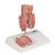 Hemorrhoid Model - 3B Smart Anatomy, 1000315 [K27], Digestive System Models (Small)