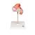 Embryo Model, 2nd Month - 3B Smart Anatomy, 1000323 [L10/2], Pregnancy Models (Small)
