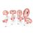 Pregnancy Models Series, 8 Individual Embryo & Fetus Models - 3B Smart Anatomy, 1018627 [L10], Pregnancy Models (Small)
