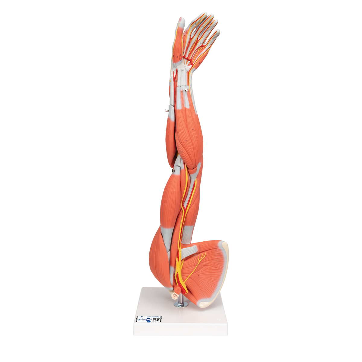 Anatomical Teaching Models | Plastic Human Muscle Models | Muscle ...