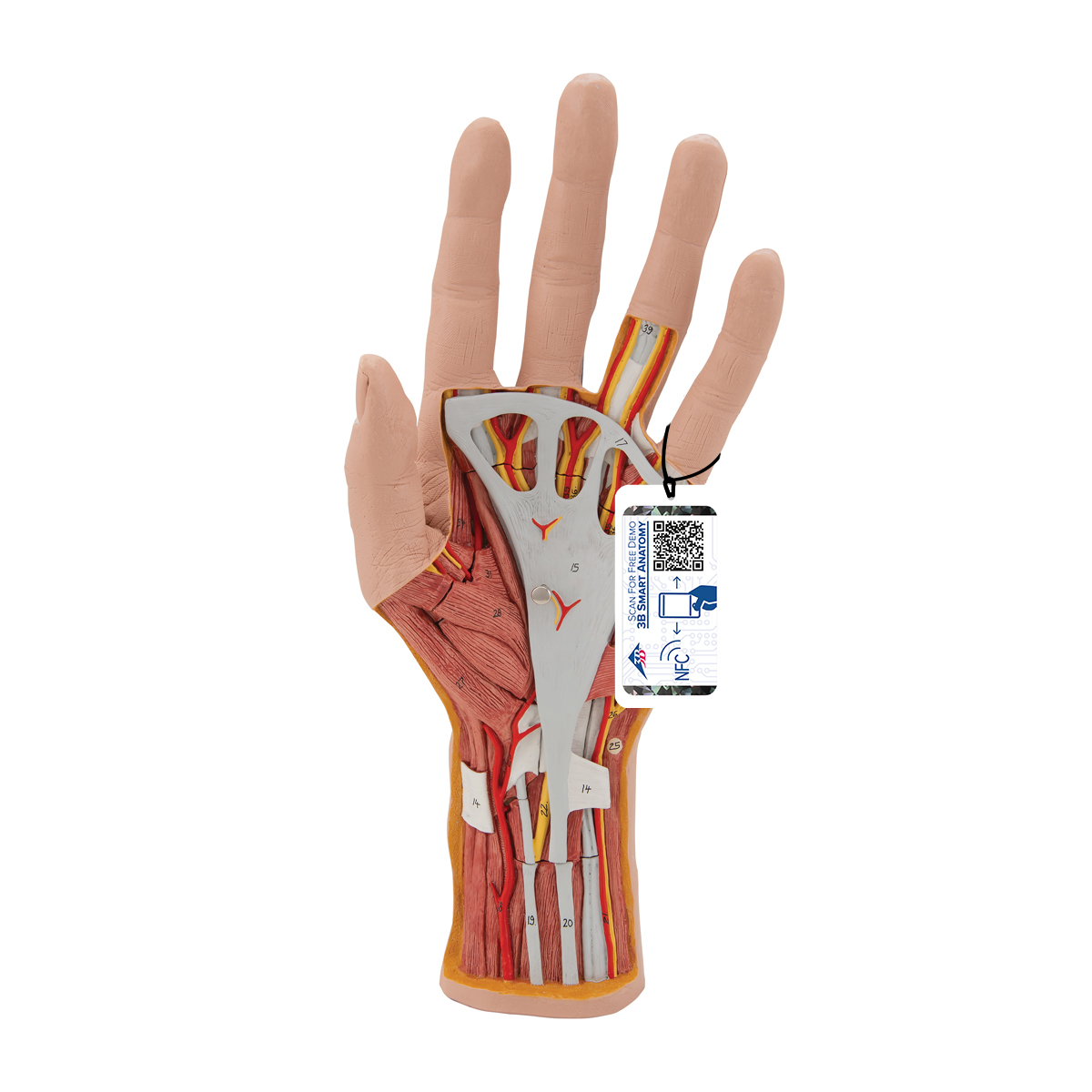 Internal Hand Structure Model, 3 part - 1000349 - 3B Scientific ...