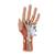 Life-Size Hand Model with Muscles, Tendons, Ligaments, Nerves & Arteries, 3 part - 3B Smart Anatomy, 1000349 [M18], Arm and Hand Skeleton Models (Small)