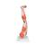 Muscle Leg Model, 3/4 Life-Size, 9 part - 3B Smart Anatomy, 1000351 [M20], Muscle Models (Small)
