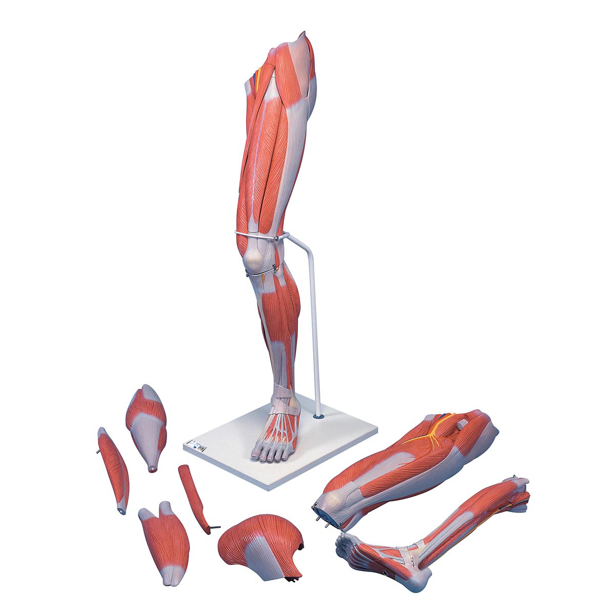 Anatomical Teaching Models | Plastic Human Muscle Models | Deluxe ...